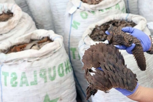 $38.7 million worth of pangolin scales seized in Singapore