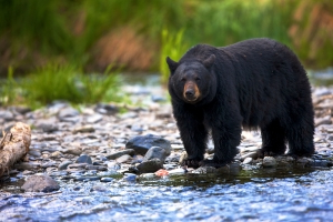B.C. guide outfitter fined $25K for bear baiting