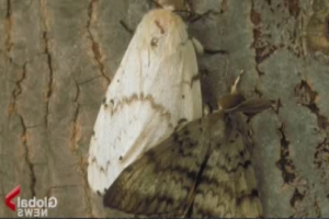 City of Toronto braces for return of European gypsy moths this spring