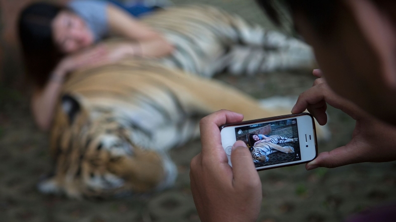 The cheap and shady business of taking selfies with tigers