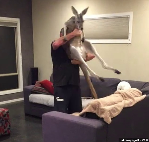 From the pouch to the couch: Meet the pet kangaroo that sleeps on the sofa and refuses to go outside at night before giving his owner a kiss