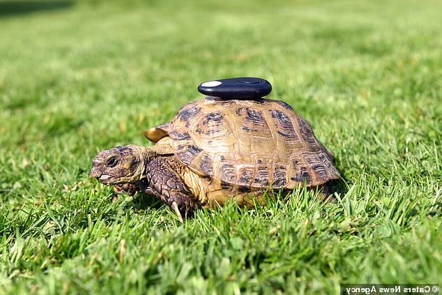 Mischievous Mikey the runaway tortoise is fitted with a GPS tracker after escaping hundreds of times from his pen and shuffling off at 65 yards per hour