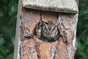 Why this owl raised a duckling as its own