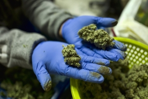 Jobs in marijuana industry may make citizenship off-limits for immigrants