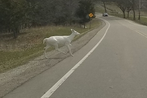 Rare albino deer captured in photo by man driving through Michigan park