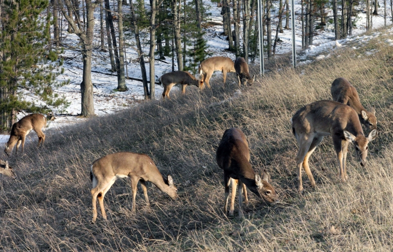 Health & Fit: 'Zombie' deer disease will be 'virtually impossible