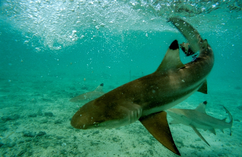 US: 65-year-old Hawaiian tourist attacked by a shark