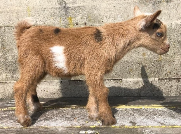 Canada 12 Day Old Goat Missing After Vancouver Island Farm S Snuggle Party Pressfrom Canada