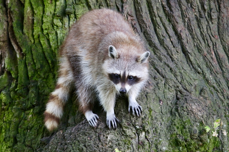 Raccoon Deutsch