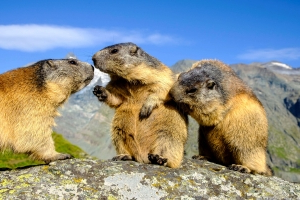 A couple ate raw marmot believed to have health benefits. Then, they died of the plague.