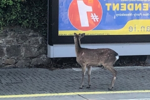 DART delays in South Dublin after deer spotted walking around tracks