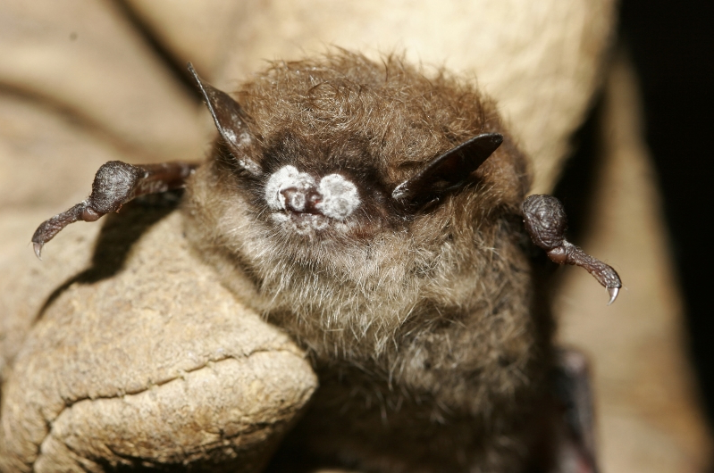 They call it a 'bat apocalypse.' The fungus causing it is spreading across Texas