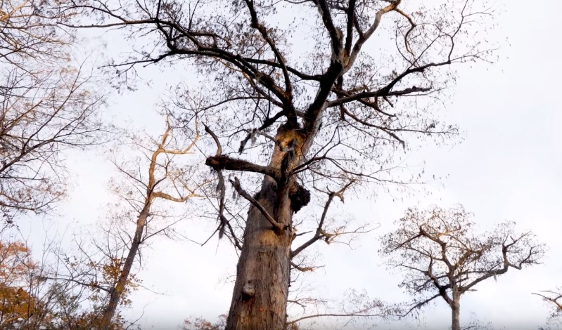 Scientists found a tree in North Carolina that's a jaw-dropping 2,624 years old