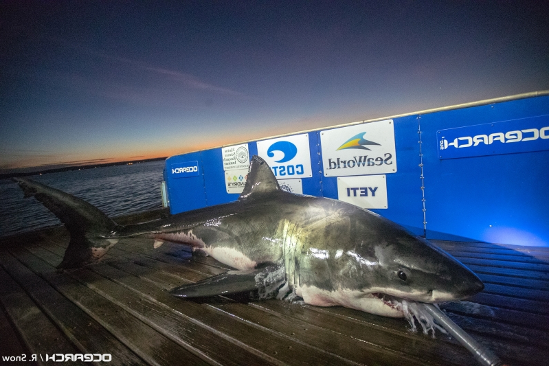 foot great white shark   tracked   carolinas  weighs  pounds