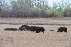 Invasive pigs are going hog wild as they spread through Canada