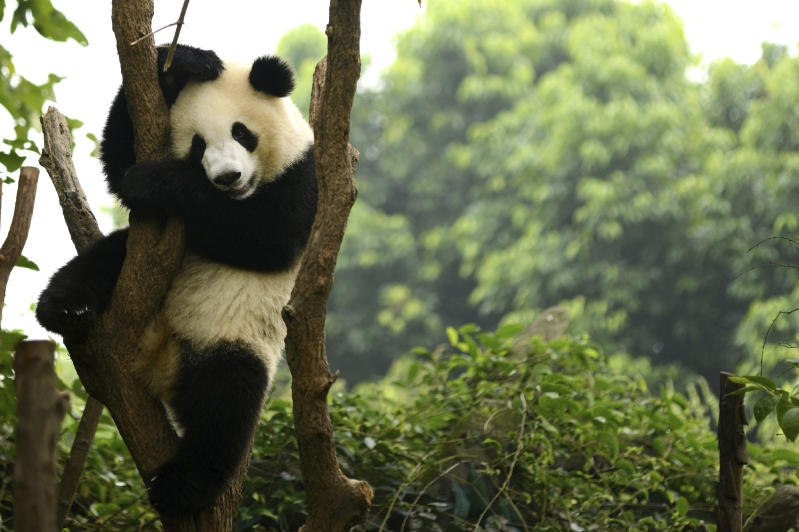 China creates app to recognize Pandas