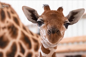 Baby Giraffe With Foot Condition Gets Custom Shoes to Help Him Walk