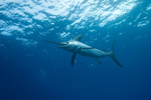 Flying marlin injures two in Aussie boating incident