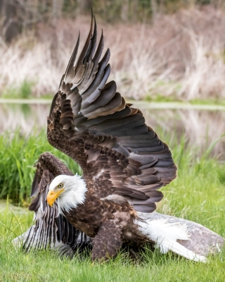 Windsor photographer's bald eagle and its reflection goes viral