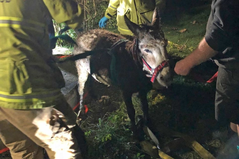 Australia: Miniature donkey up to his neck in it rescued from septic