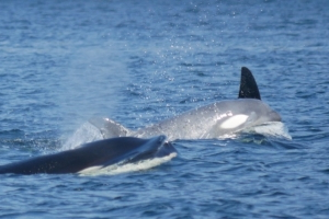 Rare white killer whale spotted in B.C. waters