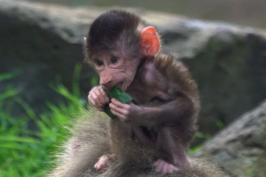 Two newborn baboons join a growing troop at Melbourne Zoo
