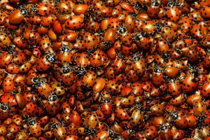 A Massive Ladybug Swarm Is Moving Through California