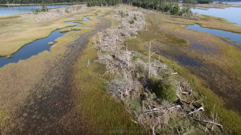 Ghost forests are sprouting up along the Atlantic Coast