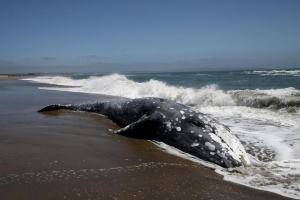 2 more dead gray whales are found in Alaska, bringing the year's toll to 75 along the US West Coast