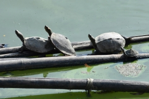 Indian temple helps nurture 'extinct' turtle back to life
