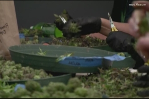 Montgomery County authorities observe violent marijuana-related trend