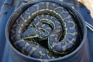 Mysssstery solved! Confused family find out exactly why their exhaust fan isn't working after discovering huge carpet python curled up inside