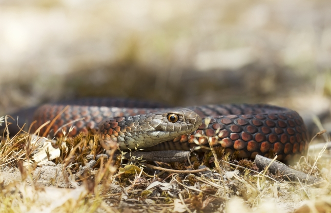 Officials warn residents of 'zombie snake' that tends to play dead