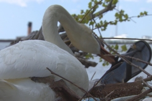 This swan building her nest from plastic is the reminder we all need to do better with waste