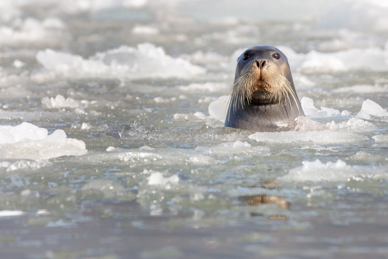 At least 60 ice seals found dead along west Alaska coast
