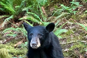 Young bear was fed by humans and had many 'fans.' Officials say they had to kill it