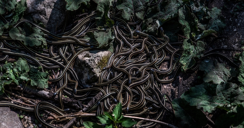 This Town Comes Alive Once a Year, as Thousands of Snakes Mate