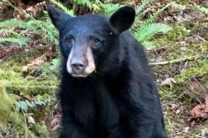 Wildlife officials kill black bear for being too friendly with humans