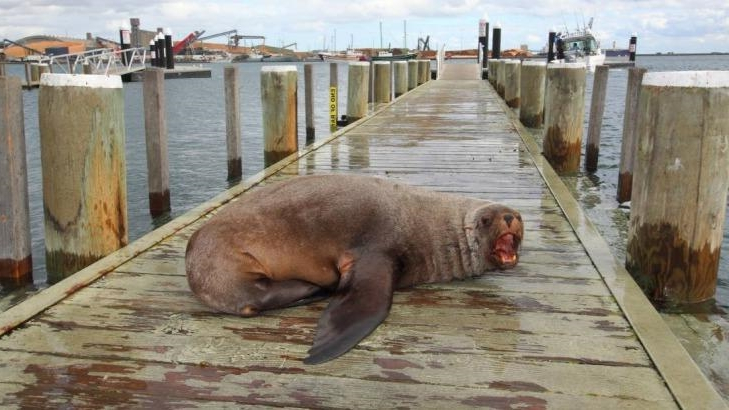 Australia: The sorry tale of Sammy the seal, who never