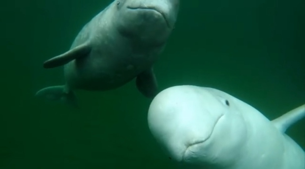 Canada: Beluga whale making the rounds in P E I  waters