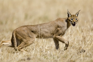 Large exotic cat mauls mom, child in Illinois, report