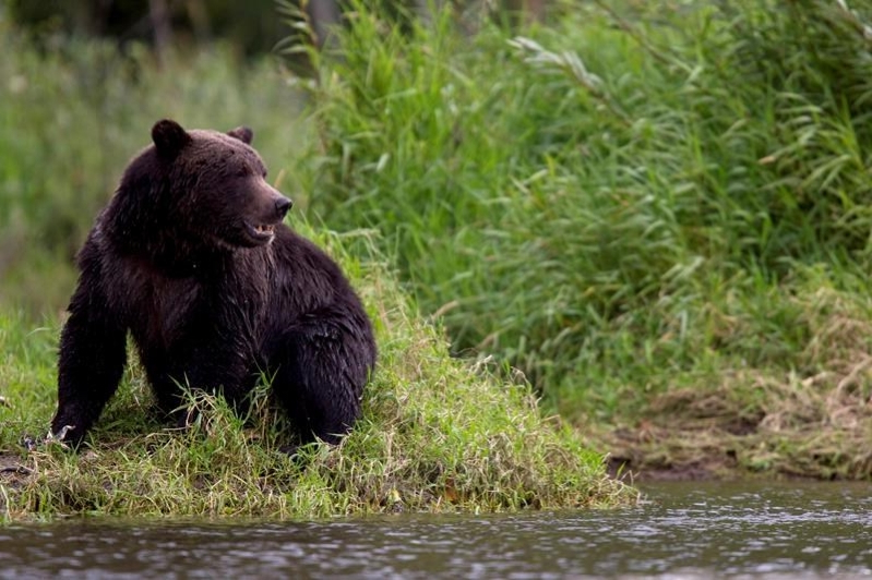 Second Banff grizzly dies after being struck by vehicle: Parks Canada