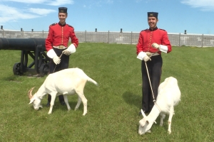 Fort Henry's mascot goat David gets a new friend
