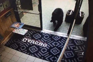 Curious bear wanders into Canmore barbecue joint during dinner rush