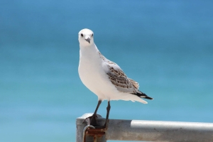 Seagulls infected with drug-resistant E.coli bacteria similar to superbugs, research finds