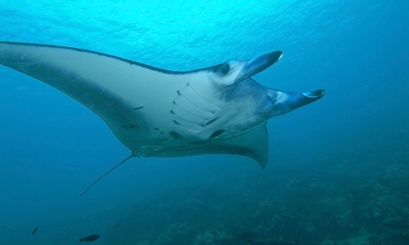 Giant manta ray seeks help from diver