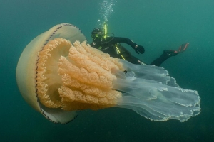 Giant jellyfish spotted by divers off English coast