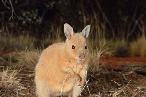 Native wallaby brought back from brink of extinction in the Red Centre