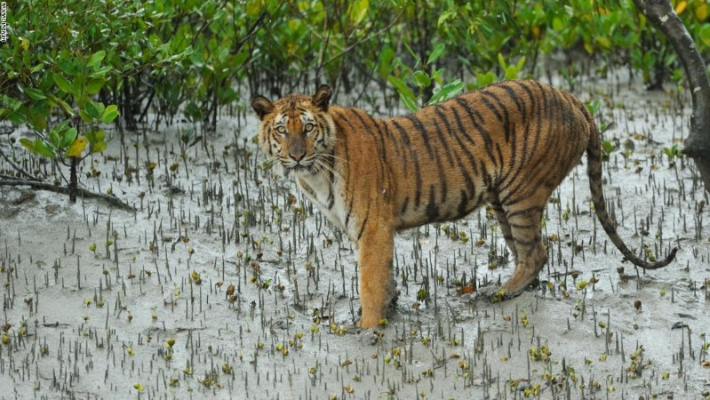 Villagers in India beat tiger to death