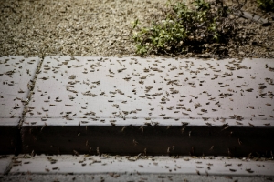 Swarms of Grasshoppers Invade Las Vegas—And There Are so Many They Showed up on Weather Radar